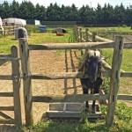 Hounslow Urban Farm goat & alpaca