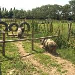 Hounslow Urban Farm pig race